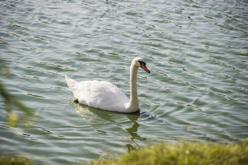White swan at the pond. Close-up the mute swan Cygnus olor swimming at the pond royalty free stock photography