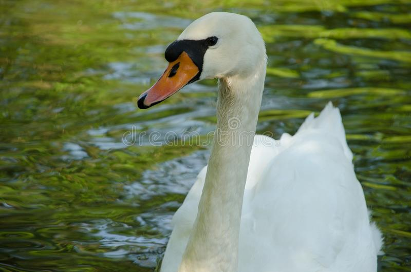 White swan in a pond. Close-up stock image