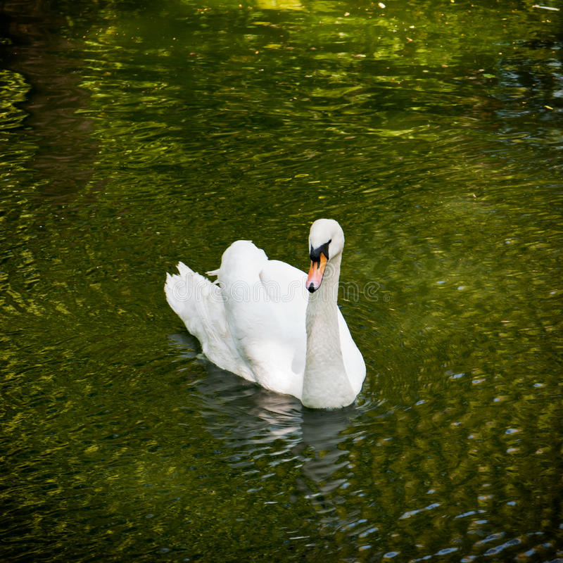 White swan in a pond stock photos