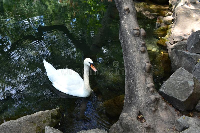 White swan on the pond near the rocky shore. Circles on the water, a tree with growths on the shore of a green lake. royalty free stock photo