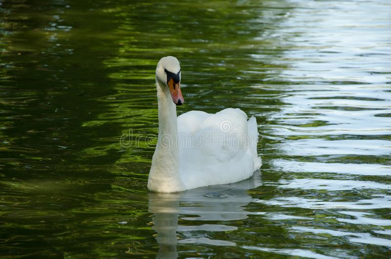 White swan in a pond stock image