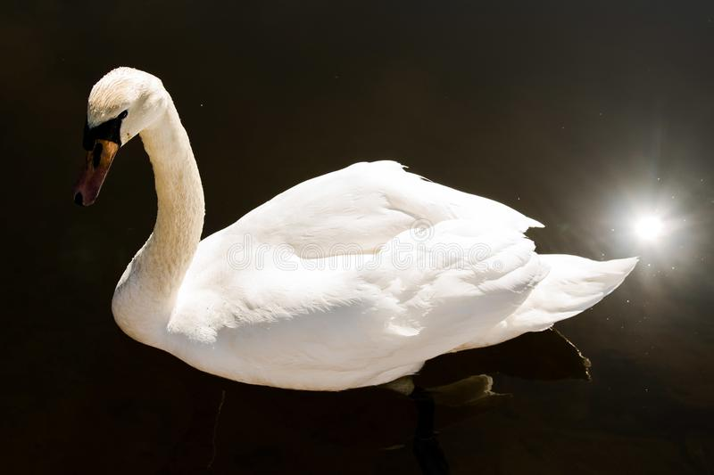 White Swan on a pond stock image
