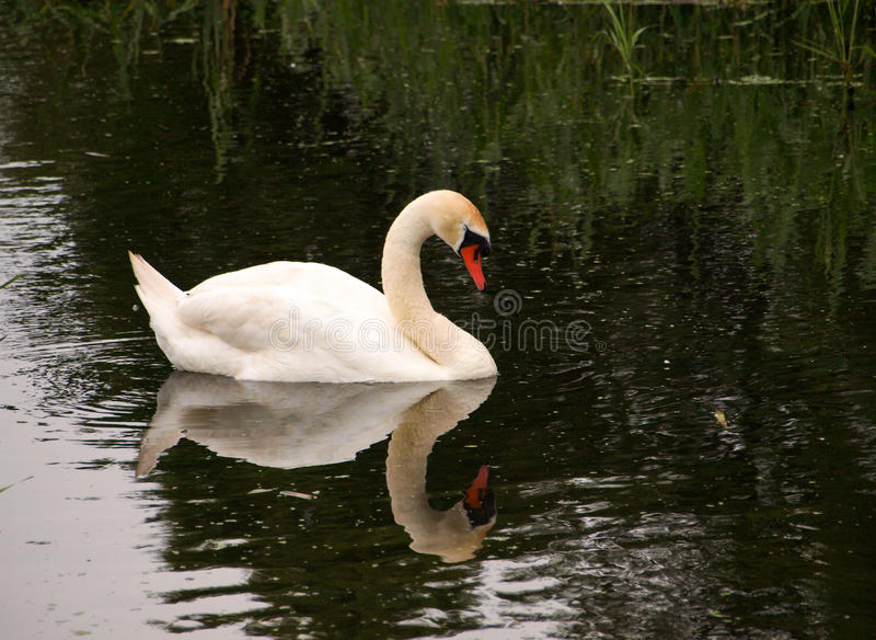 White swan with reflection in the water. White swan with reflection in the pond water stock photography