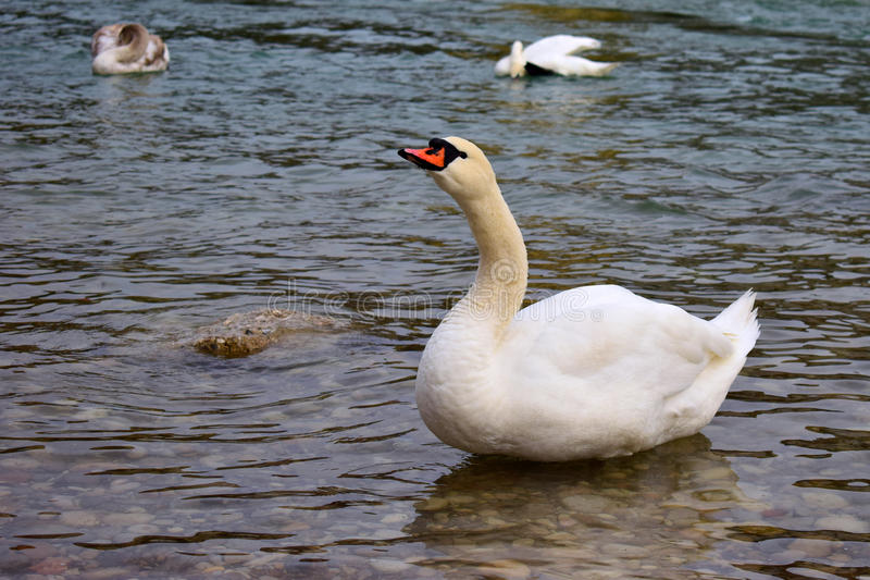 White swan on a river stock images