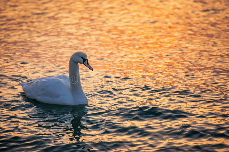 White swan in the sea with blue dark background on the sunrise. stock photo