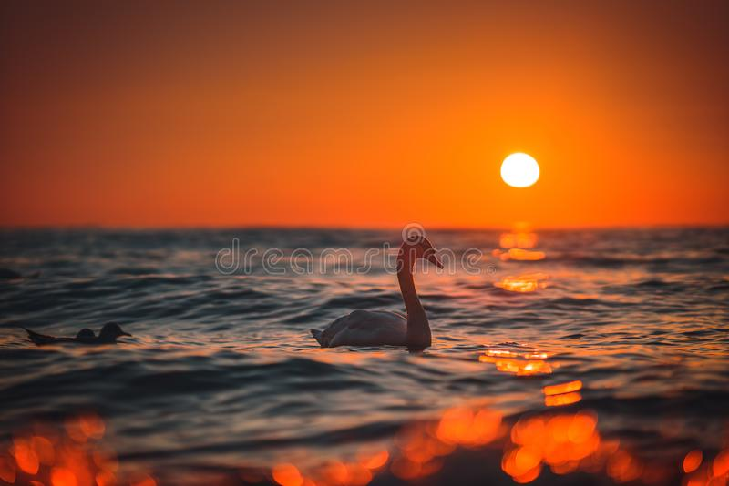 White swan in the sea,sunrise shot royalty free stock photography