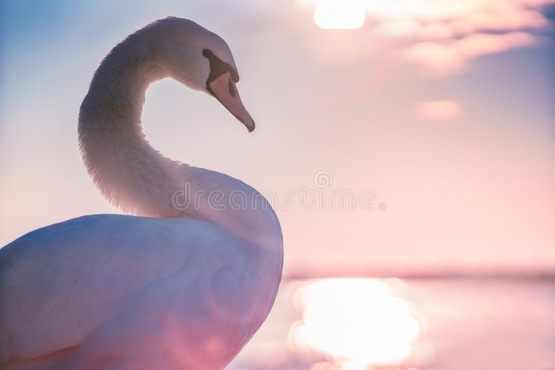 White swan in the sea,sunrise shot royalty free stock images