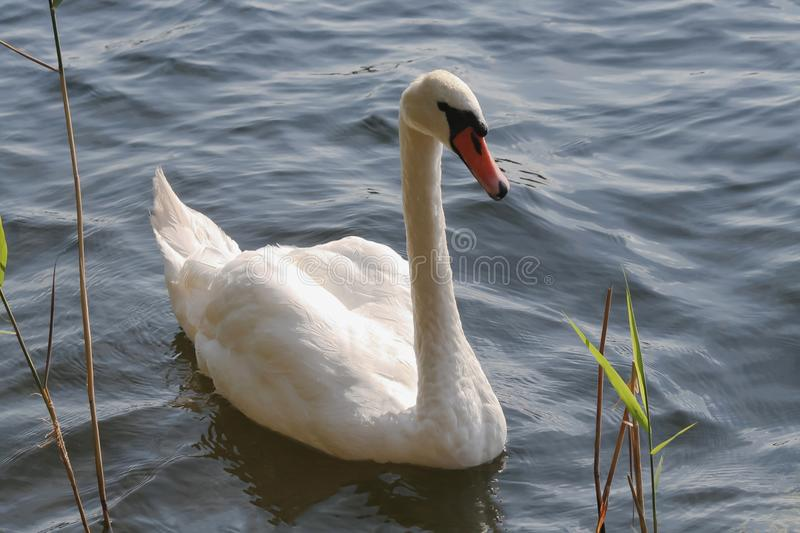 White swan See stockbild