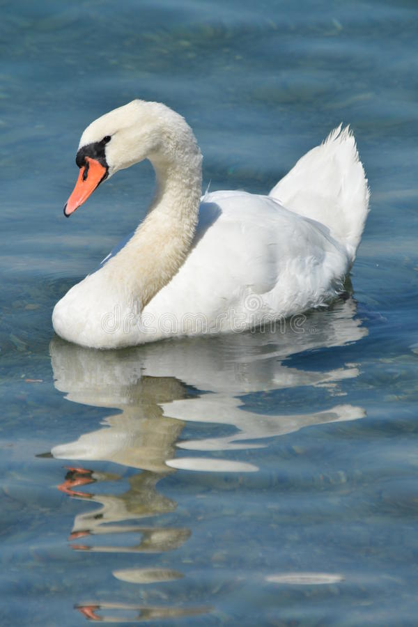 White Swan. Seen at the beautiful lake in Zurich, Switzerland royalty free stock image