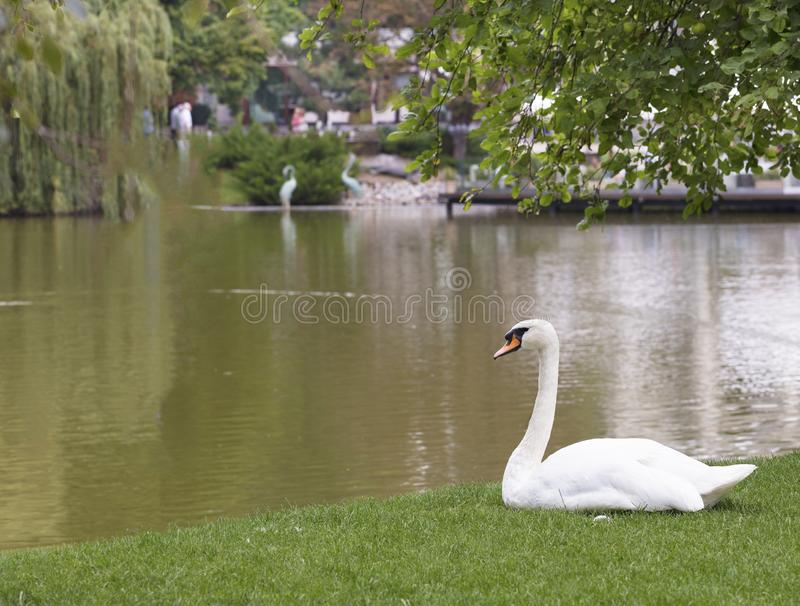White swan sitting on the green grass near the city pond stock photos