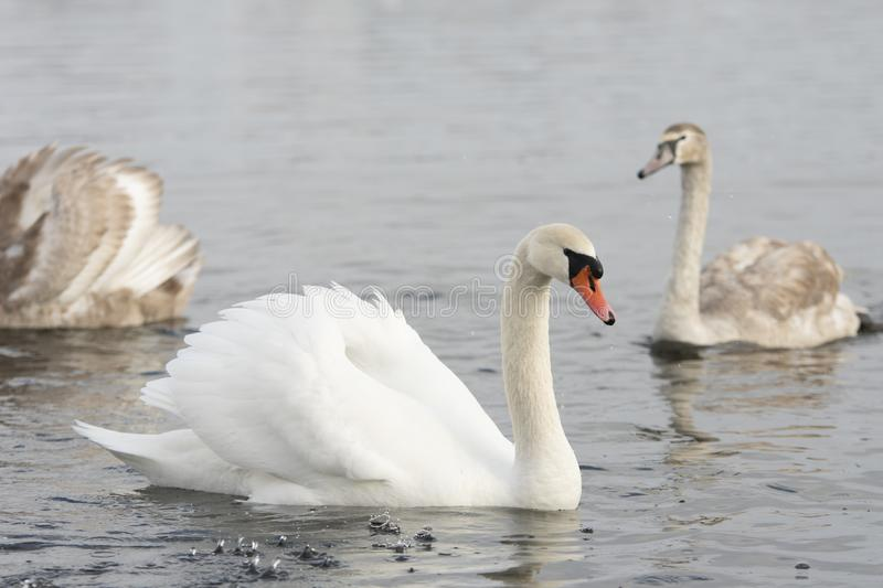 White Swan With Splashes On Water royalty free stock images