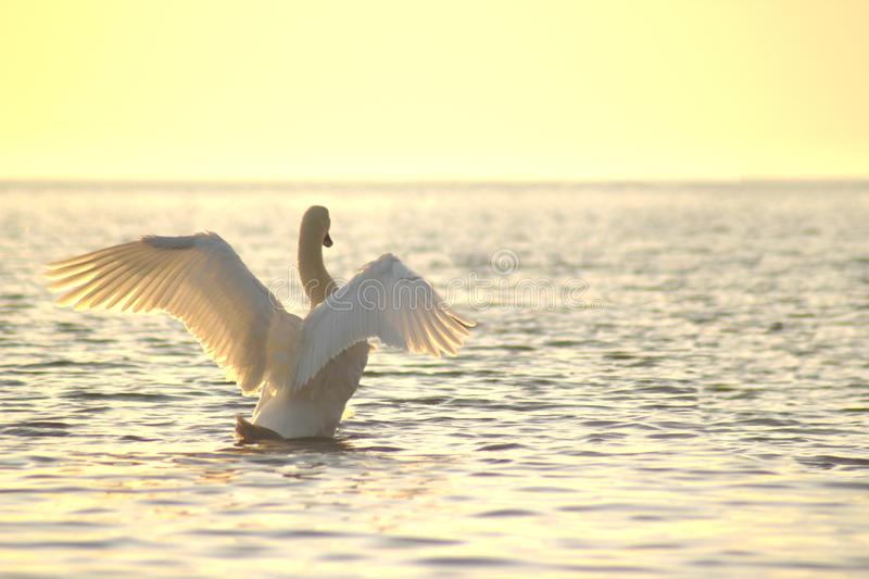 white swan spread its wings. Shot at sunset on the sea wave stock photography