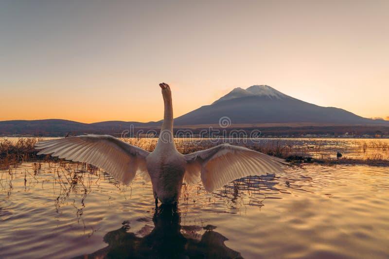 White swan spreading their wings with reflection of Fuji Mountain at lake Yamanaka at sunset. Yamanashi, Japan royalty free stock photos