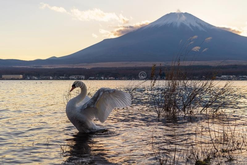 White swan spreading their wings with reflection of Fuji Mountain at lake Yamanaka at sunset. Yamanashi, Japan stock image