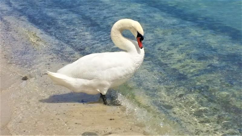 A White Swan standing on a beach entering the lake water stock photo