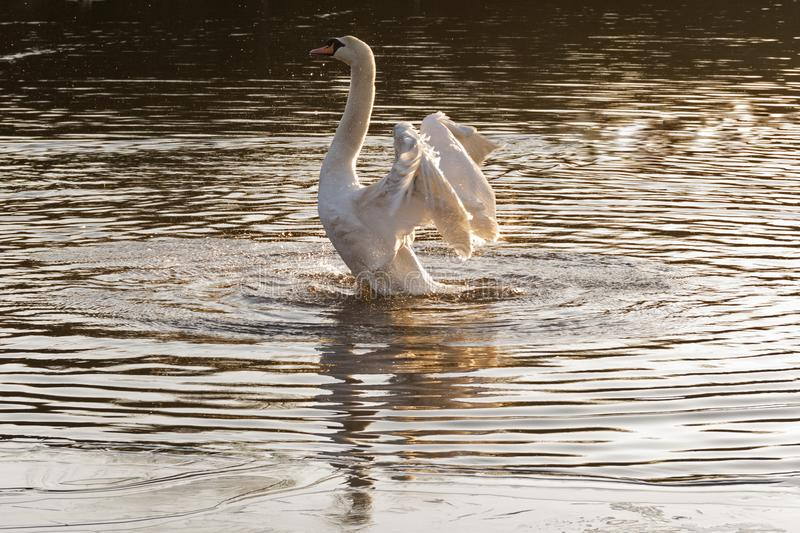 Download A White Swan Stretching In The Early Morning Light  Southampton Stock Image - Image of bird, hampshire: 109273761