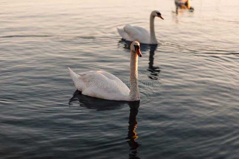 White Swan Swimming stock photography