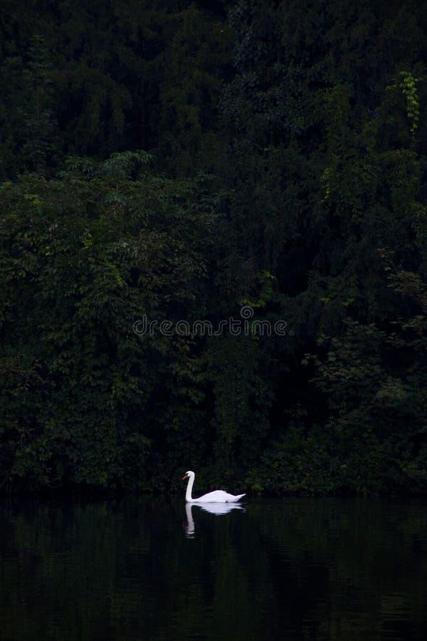 Free White Swan Swimming In The Dark Lake Royalty Free Stock Photos - 140325978