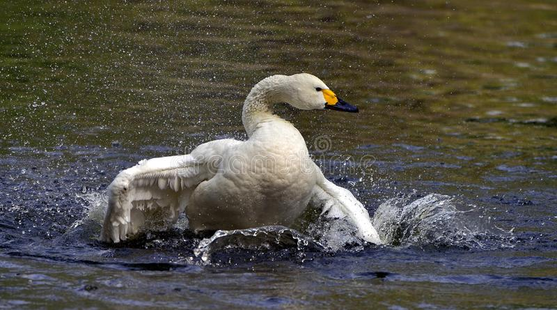 White swan stock photography