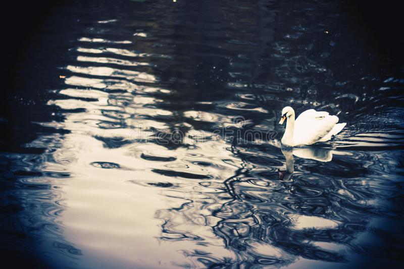 The white swan swimming in the lake. Beauty of the wildlife royalty free stock photos