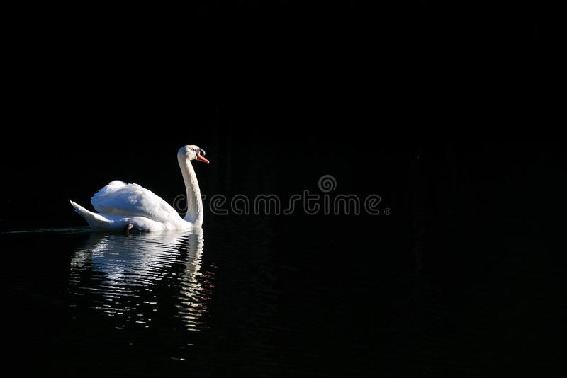 White Swan is swimming in the lake in morning time. stock photos