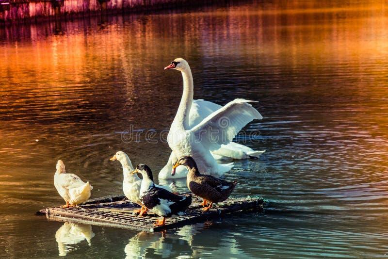 Beautiful white swan swimming in the lake near ducks stock images