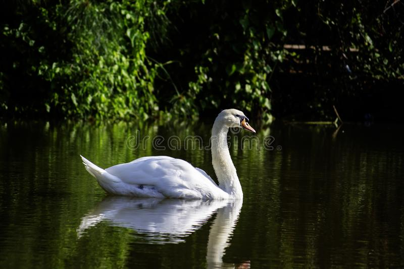 White swan is swimming in the local lake ,look happy and comfortable. White swan is swimming in the local lake ,look happy and. White, swan, swimming, local royalty free stock photos