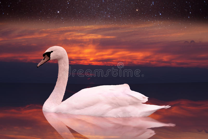 White swan swimming in a pond at sunset. A bird in the wild sits on the water at dawn. against the sky with stars stock photo