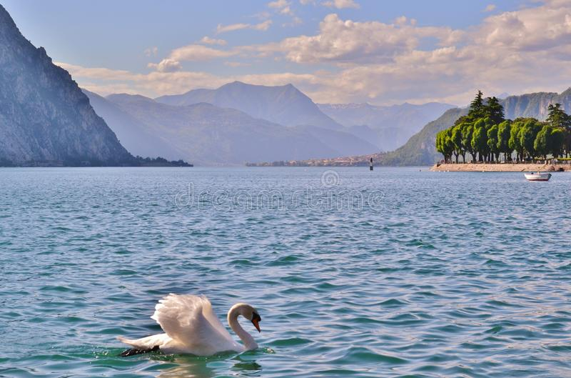White swan swimming in ripple water of the lake Como near Lecco at sunset. White swan swimming in ripple water of the lake Como near Lecco at sunset in a summer stock photo