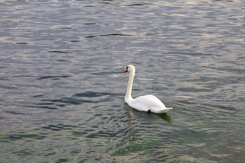 White swan is swimming in river royalty free stock image