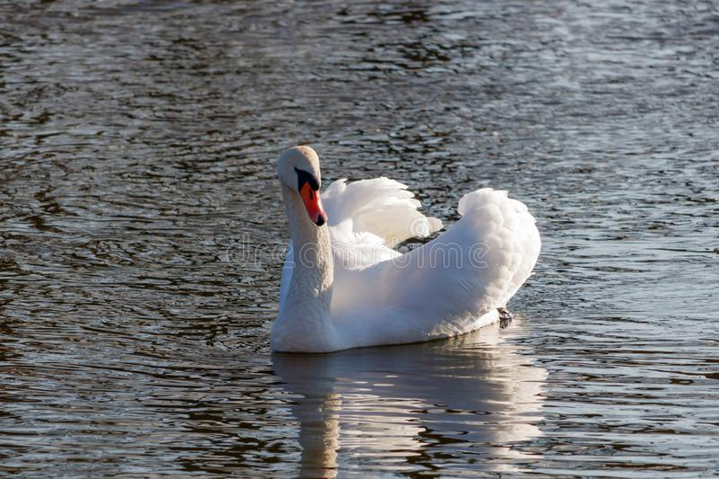 White swan swimming on the winter lake with raised wings stock image