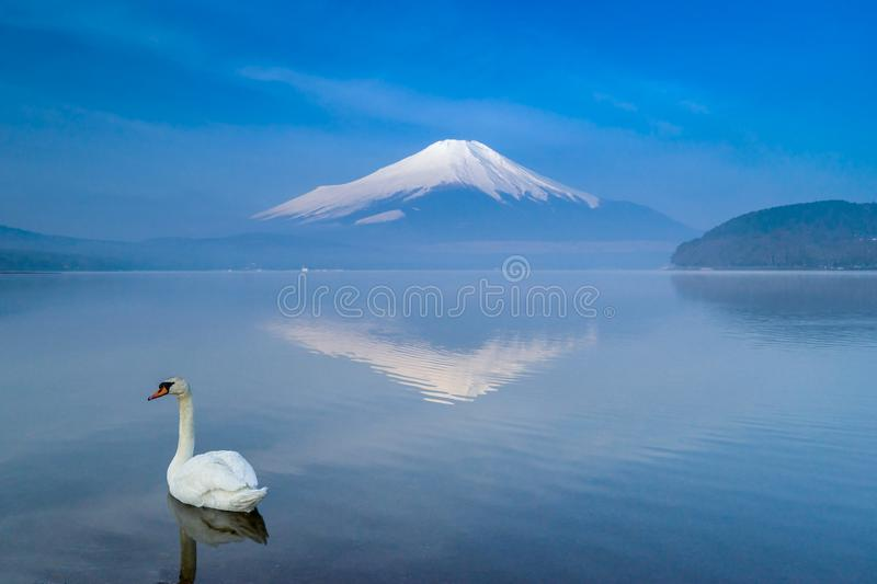 A white swan swimming in Yamanaka lake with Fuji mountain reflection royalty free stock images