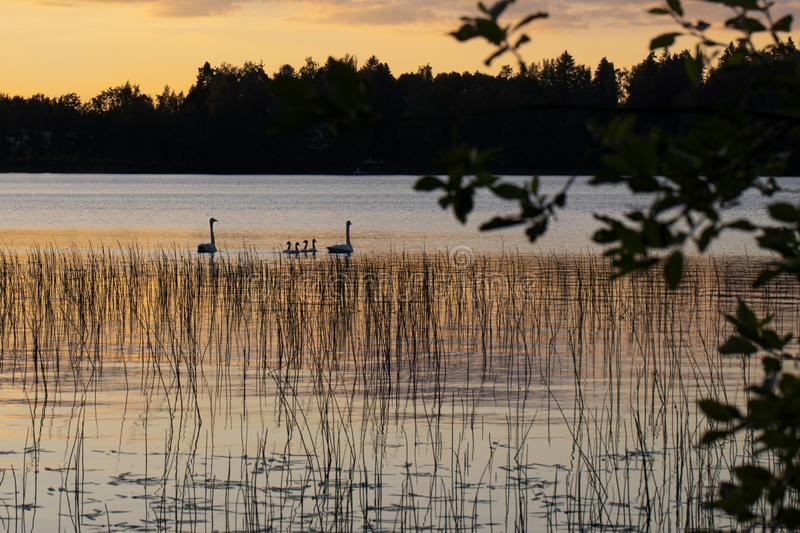 White swan swimming with young cygnets. In Finland royalty free stock photos
