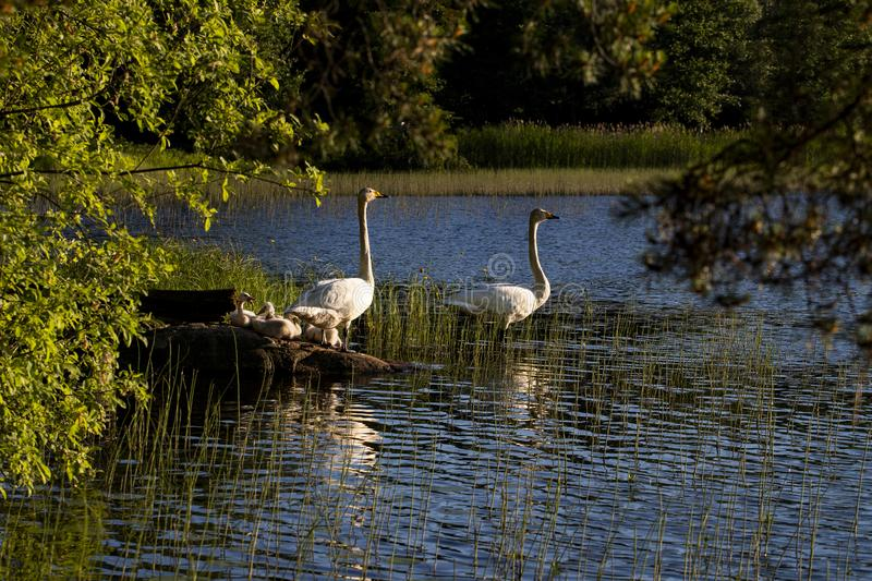 White swan swimming with young cygnets. In Finland royalty free stock image