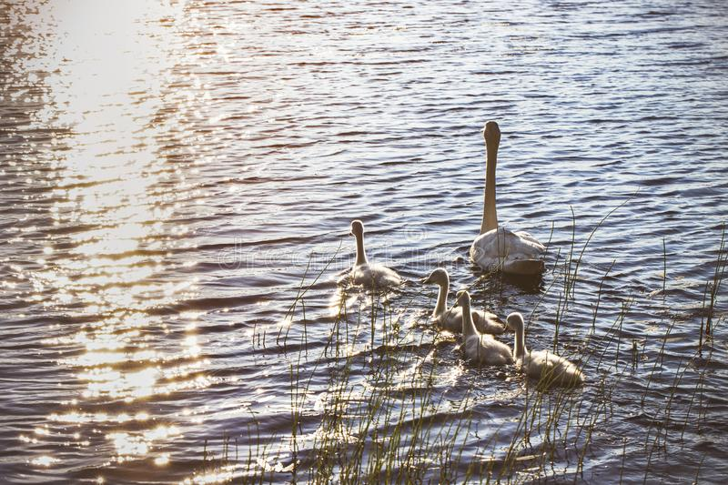 White swan swimming with young cygnets. In Finland stock photo