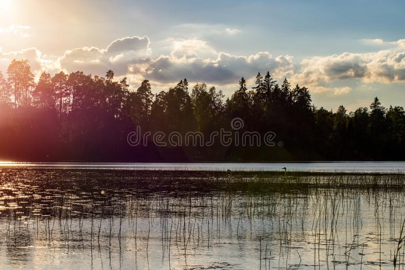 White swan swimming with young cygnets. In Finland stock photos