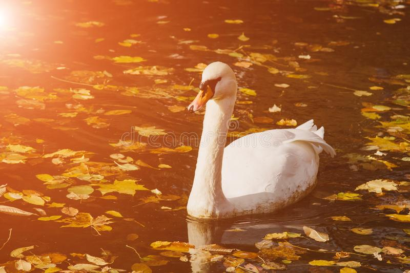 A white swan swims on a lake with yellow leaves on a beautiful autumn, sunny day. the bird is cleaning its feathers.  royalty free stock images