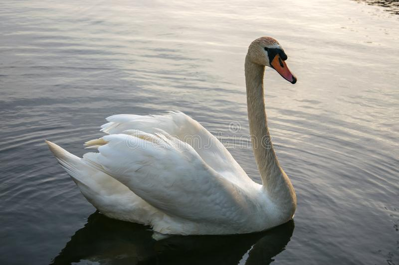 White swan swims on a pond on a summer evening royalty free stock photography