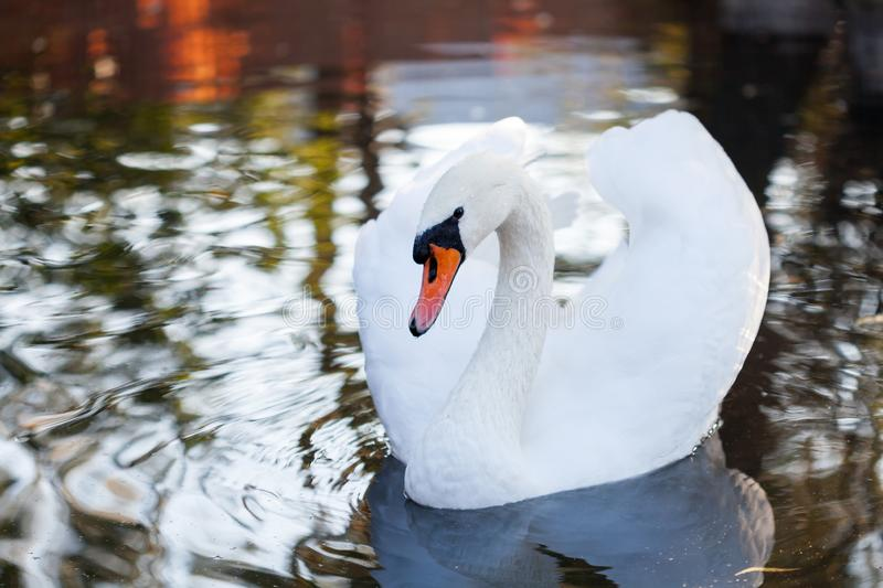White swan in the lake royalty free stock images