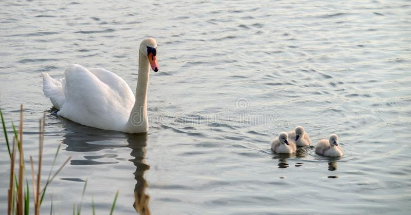 A white swan with three chicks swims around the lake. royalty free stock photography