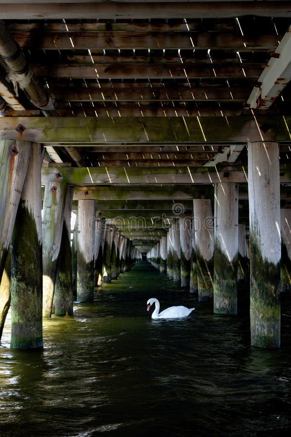 White swan under the pier royalty free stock photography