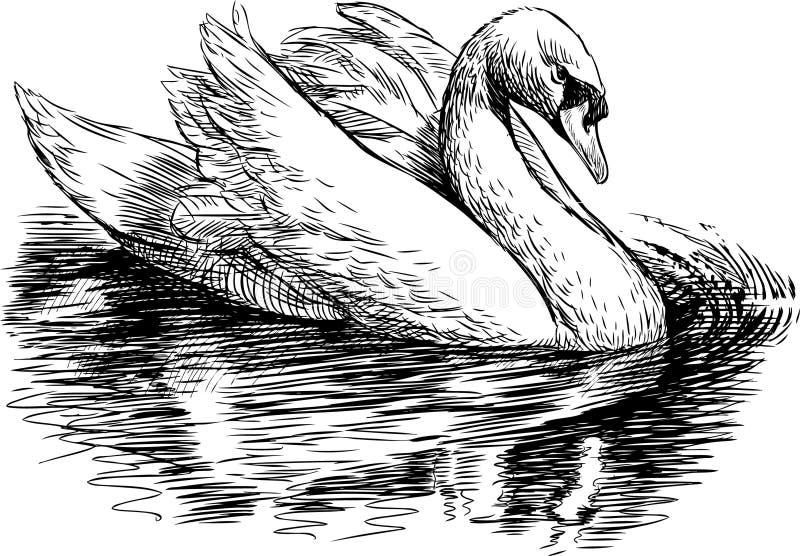 White swan stock illustration