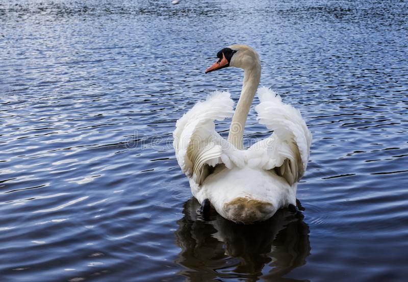 White swan is a very beautiful bird. A beautiful wild white swan came to the seashore. he stood with his powerful paws on the grass and posed straight into the stock images