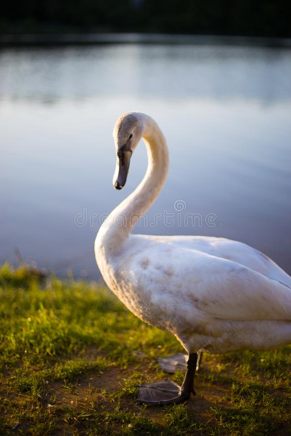 White swan is a very beautiful bird. A beautiful wild white swan came to the seashore. he stood with his powerful paws on the grass and posed straight into the stock photos