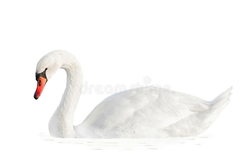 White swan in water isolated on white background. Beautiful white swan in water isolated on white background stock images