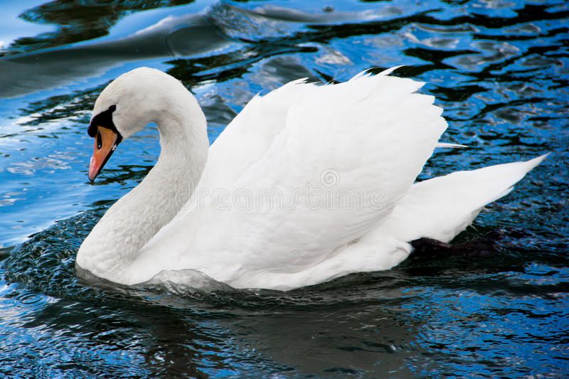 White swan on the water stock photo
