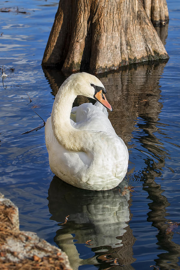 White Swan on Water royalty free stock images