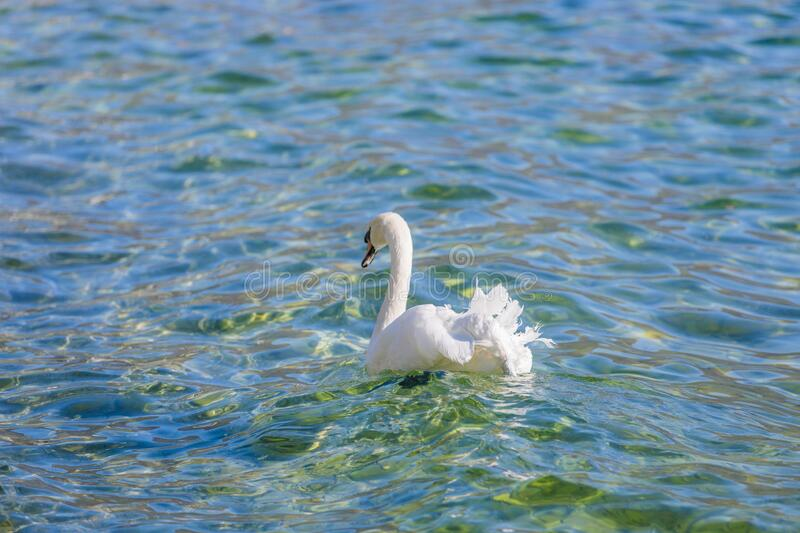 White swan on the waves. Graceful elegant swan swims on the transparent incredible clean lake surface and waves. Swan back view stock images