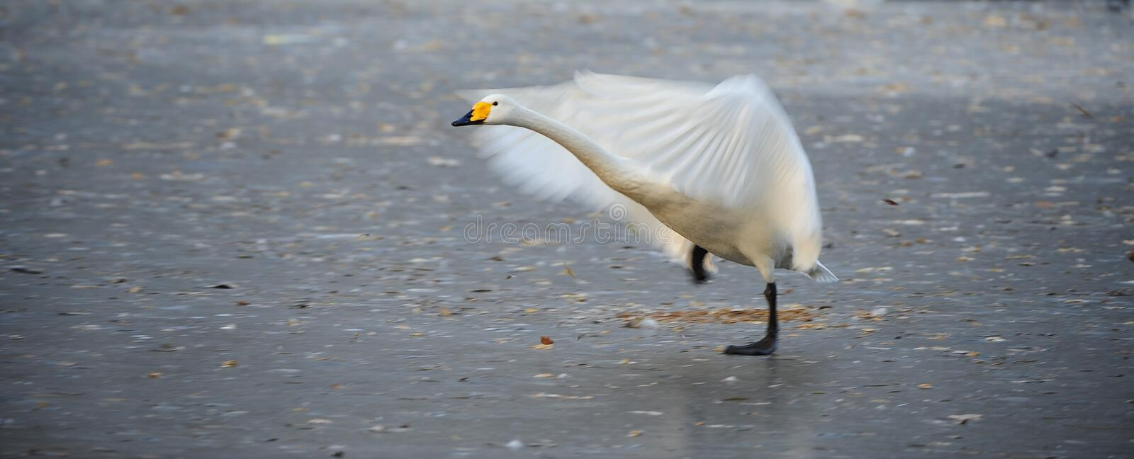 White Swan Wings Royalty Free Stock Photography