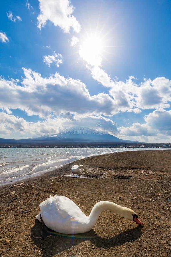 White swan in Yamanaka lake with Fuji mountain stock images